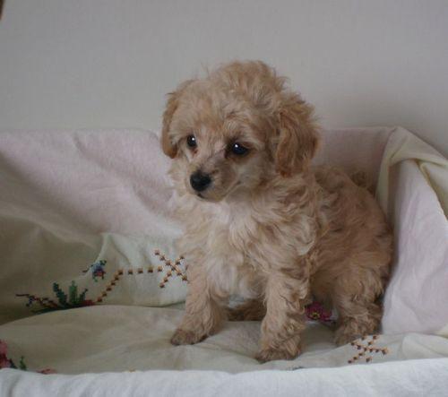 newborn toy poodle puppies bornfebuary16 500x443